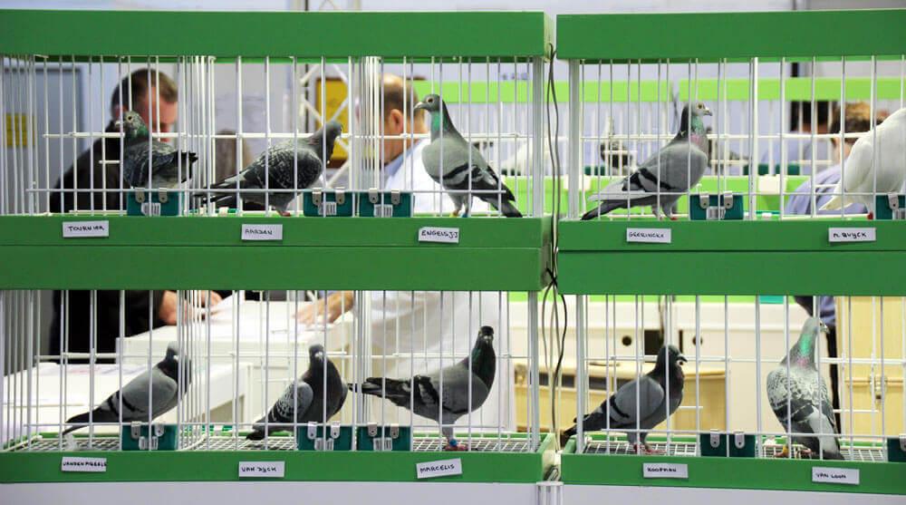 Homepage - Internationaler TaubenMarkt